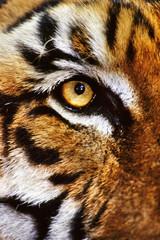 Bengal tiger face, Panthera tigris tigris, Native to India