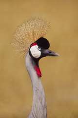 Crowned crane, Balearica regulorum, a bird with a long neck and crest in Kenya
