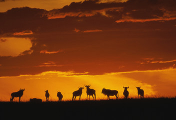 Blue wildebeests at dawn, Connochaetes taurinus, Masai Mara Reserve, Kenya