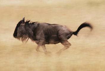 Blue wildebeest running, Connochaetes taurinus, Masai Mara Reserve, Kenya
