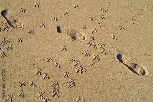 Sanderling tracks cross human footprints, Monterey Bay, California