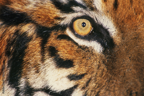 Bengal tiger's face, Panthera tigris tigris, a big cat native to India