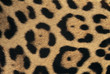 Jaguar skin pattern, Panthera onca, Belize