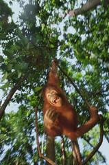 Orangutan dangling from vines, Pongo pygmaeus, Sepilok Reserve, Sabah, Borneo