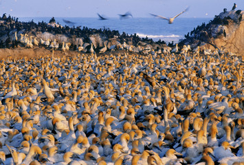 Cape gannet colony, Morus capensis, Lambert's Bay, South Africa