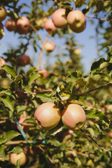 Honeycrisp apples on tree,