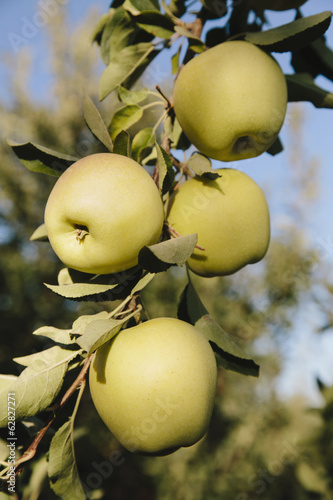 Golden Delicious apples on tree