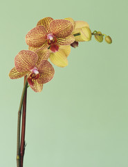 Blooming Phalaenopsis orchid flower with pink and yellow petals.