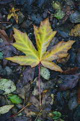 An autumn leaf on the ground. A maple leaf, turning colour from green to brown.