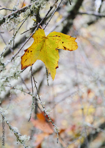 A maple leaf hanging on a moss covered tree branch. Autumnal colours.