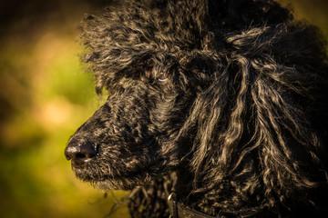 roayl poodle dog