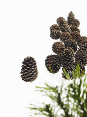 Still life. Green leaf foliage and decorations. A pine tree with green needles. A group of brown pine cones.