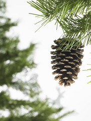 Still life. Green leaf foliage and decorations. A pine tree branch with green needles. Christmas decorations. A pine cone hanging from a tree.