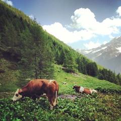 pascolo con mucche