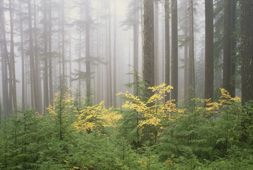 Hemlock and vine maple trees in the Umpqua National Forest. Green and yellow foliage.