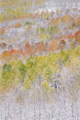 A forest of aspen trees in the Wasatch mountains, with striking yellow and red autumn foliage. Snow on the ground.