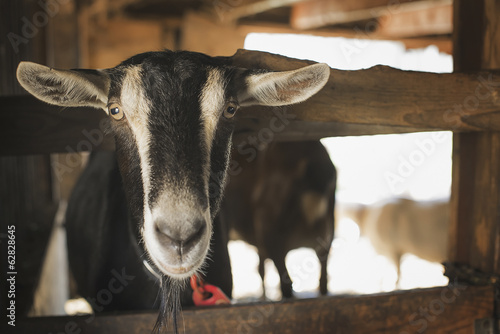 A farm animal on an organic farm. A goat in a pen.
