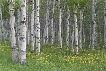 Grove of aspen trees, with white bark and bright green vivid colours in the wild flowers and grasses underneath.