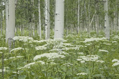 A grove of quivering aspen trees, and cow parsley growing under their shade. White bark and white curds of flowers. Uinta national forest