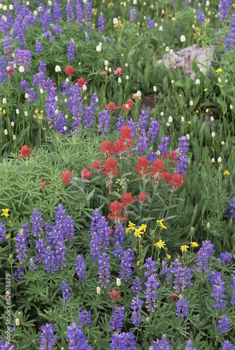 A field of mountain wildflowers, poppies and lupins in the Wasatch mountains.