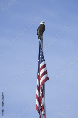 The American Bald Eagle, Haliaeetus leucocephalus, is the symbol of the nation, and thrives in Alaska.