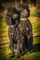 two royal poodle dog