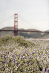Springtime. Wild flowers in a meadow, and view to the Golden Gate bridge in San Francisco bay.