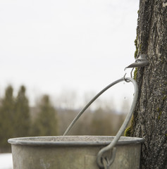 A metal pail hanging from a hook in the bark of a maple tree. Collecting the sap.