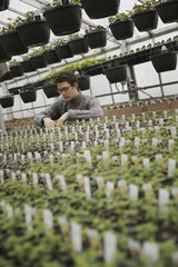 Spring growth in an organic plant nursery glasshouse. A man checking rows of seedlings and young plants.