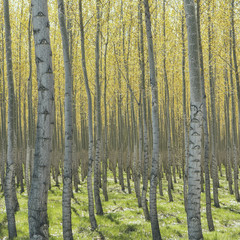 Rows of commercially grown poplar trees on a tree farm, near Pendleton, Oregon. Pale bark and yellow and green leaves.