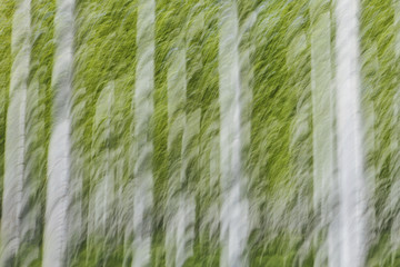 Rows of commercially grown poplar trees on a tree farm, near Pendleton, Oregon. White bark and green leaves.