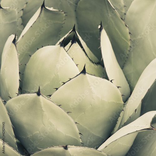 Close up of an agave cactus plant with large grey green leaves.