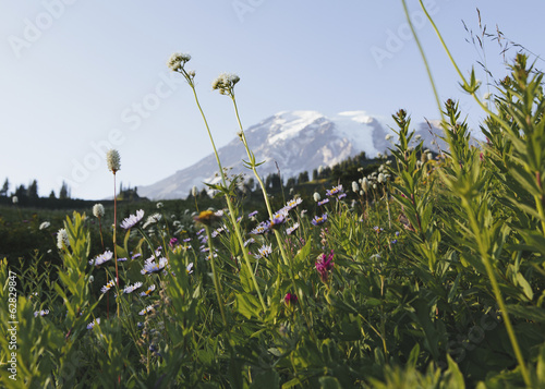 View of Mount Rainier in Mount Rainier national park. A wild flower meadow in the foreground.