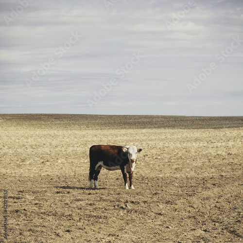 A cow standing in an open field in Palouse, in Whitman County, Washington, in the USA.