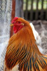 Hühnerrasse Brahma