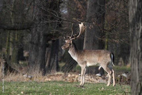 The Fallow Deer (Dama dama) - transition Winter-Spring