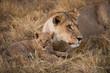African lion and cub, Duba Plains, Botswana