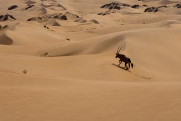 Gemsbok, Namib Desert, Namibia
