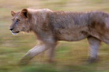 African lion, Botswana