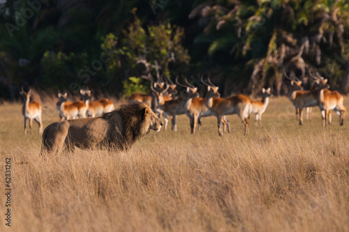 African lion and lechwe, Duba Plains, Botswana
