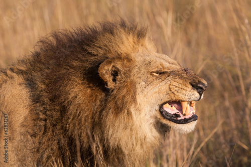 African lion, Duba Plains, Botswana