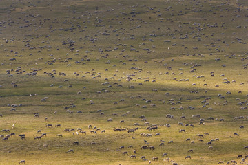 Porcupine caribou animals, a herd of animals migrating across the Arctic Plains in Alaska.