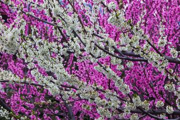 Springtime blossoms, Bhutan