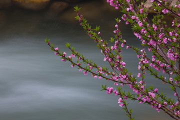 Springtime pink blossoms on a shrub in Bhutan