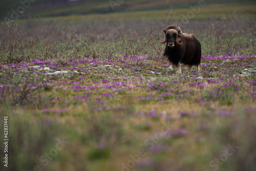 Musk ox, Arctic National Wildlife Refuge, Alaska