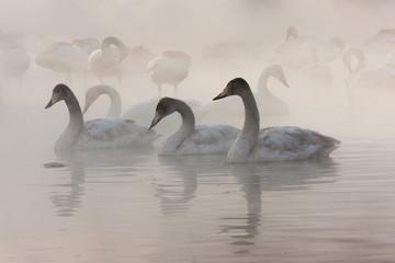Cygnus cygnus, Whooper swans, on a frozen lake in Hokkaido.