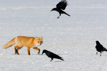 Red fox and crows, Hokkaido, Japan