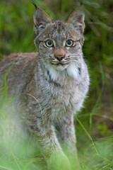 Canadian Lynx, Felis canadensis in Katmai National Park, Alaska.