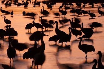 Sandhill cranes, Grus canadensis, Bosque del Apache National Wildlife Refuge, New Mexico, USA