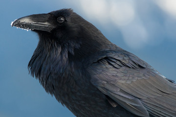 Raven with snow on its beak, Corvus corax, Olympic National Park, Washington, USA